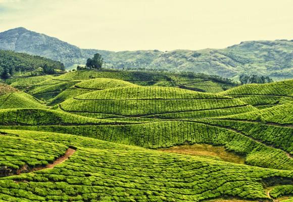 La culture du thé en Chine